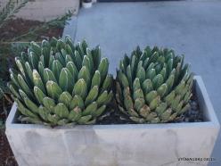 Los Andželas. Descanso botanikos sodas. Karališkoji agava (Agave victoriae-reginae) (2)