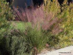 Los Andželas. Descanso botanikos sodas. Muhlenbergia capillaris