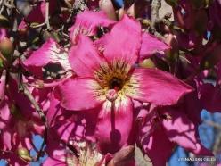 Los Andželas. Descanso botanikos sodas. Puošnusis kapokmedis (Ceiba speciosa) (2)
