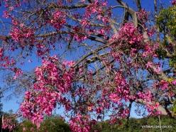 Los Andželas. Descanso botanikos sodas. Puošnusis kapokmedis (Ceiba speciosa)