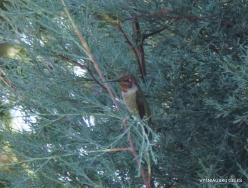Los Andželas. Descanso botanikos sodas. Raudongurklis kolibris (Archilochus colubris)