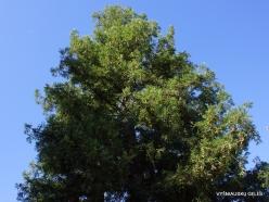 Los Andželas. Descanso botanikos sodas. Visžalė sekvoja (Sequoia sempervirens) (3)