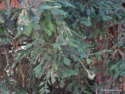 Los Andželas. Descanso botanikos sodas. Visžalė sekvoja (Sequoia sempervirens) (4)