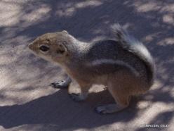 Siauralapių jukų nacionalinis parkas. Keys Wiew viršukalnė. Baltauodegis antilopinis staras (Ammospermophilus leucurus) (2)