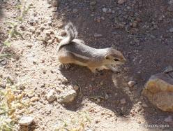 Siauralapių jukų nacionalinis parkas. Keys Wiew viršukalnė. Baltauodegis antilopinis staras (Ammospermophilus leucurus)