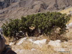 Siauralapių jukų nacionalinis parkas. Keys Wiew viršukalnė. Kaliforninis kadagys (Juniperus californica)