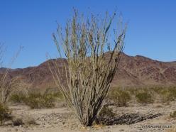 Siauralapių jukų nacionalinis parkas. Kolorado dykuma. Gairuvis (Fouquieria splendens) (2)