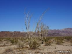 Siauralapių jukų nacionalinis parkas. Kolorado dykuma. Gairuvis (Fouquieria splendens) (3)