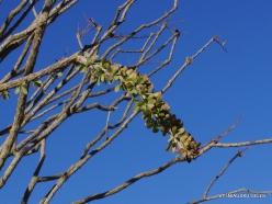 Siauralapių jukų nacionalinis parkas. Kolorado dykuma. Gairuvis (Fouquieria splendens)