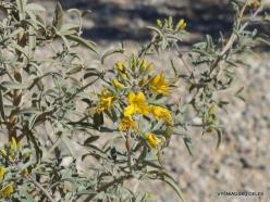 Siauralapių jukų nacionalinis parkas. Kolorado dykuma. Isomeris arborea (2)