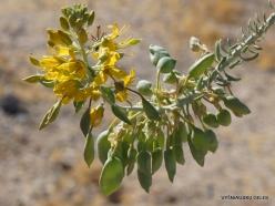 Siauralapių jukų nacionalinis parkas. Kolorado dykuma. Isomeris arborea