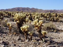 Siauralapių jukų nacionalinis parkas. Kolorado dykuma. Lazduvis (Cylindropuntia bigelovii) (10)