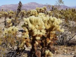 Siauralapių jukų nacionalinis parkas. Kolorado dykuma. Lazduvis (Cylindropuntia bigelovii) (13)
