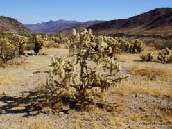Siauralapių jukų nacionalinis parkas. Kolorado dykuma. Lazduvis (Cylindropuntia bigelovii) (7)