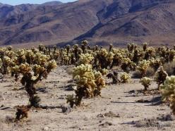 Siauralapių jukų nacionalinis parkas. Kolorado dykuma. Lazduvis (Cylindropuntia bigelovii) (8)