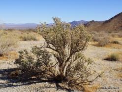 Siauralapių jukų nacionalinis parkas. Kolorado dykuma. Lazduvis (Cylindropuntia ramosissima) (2)