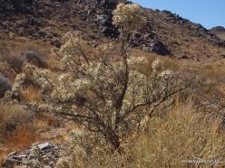 Siauralapių jukų nacionalinis parkas. Kolorado dykuma. Lazduvis (Cylindropuntia ramosissima) (3)