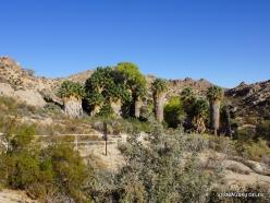 Siauralapių jukų nacionalinis parkas. Lost Palms oazė (2)