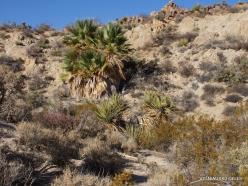 Siauralapių jukų nacionalinis parkas. Lost Palms oazė (5)