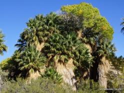Siauralapių jukų nacionalinis parkas. Lost Palms oazė. Paprastoji vašingtonija (Washingtonia filifera) (3)