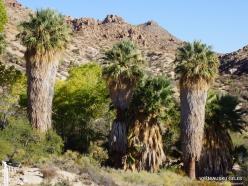 Siauralapių jukų nacionalinis parkas. Lost Palms oazė. Paprastoji vašingtonija (Washingtonia filifera) (4)