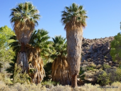 Siauralapių jukų nacionalinis parkas. Lost Palms oazė. Paprastoji vašingtonija (Washingtonia filifera) (5)