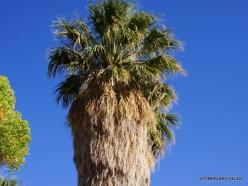 Siauralapių jukų nacionalinis parkas. Lost Palms oazė. Paprastoji vašingtonija (Washingtonia filifera) (6)