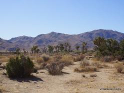 Siauralapių jukų nacionalinis parkas. Mohavių dykuma (1)