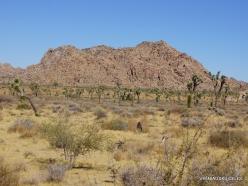 Siauralapių jukų nacionalinis parkas. Mohavių dykuma (12)