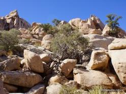 Siauralapių jukų nacionalinis parkas. Mohavių dykuma (18)