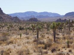 Siauralapių jukų nacionalinis parkas. Mohavių dykuma (2)