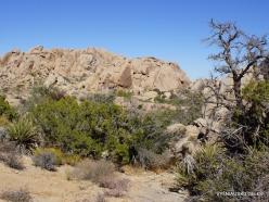 Siauralapių jukų nacionalinis parkas. Mohavių dykuma (40)