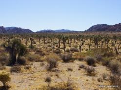 Siauralapių jukų nacionalinis parkas. Mohavių dykuma (7)