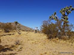 Siauralapių jukų nacionalinis parkas. Mohavių dykuma (8)