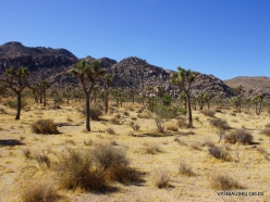 Siauralapių jukų nacionalinis parkas. Mohavių dykuma (9)