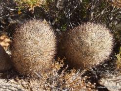 Siauralapių jukų nacionalinis parkas. Mohavių dykuma. Ežiažvakis (Echinocereus sp.) (5)