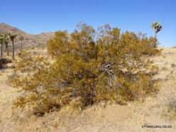 Siauralapių jukų nacionalinis parkas. Mohavių dykuma. Geltonasis keimeris (Larrea tridentata) (2)