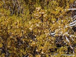 Siauralapių jukų nacionalinis parkas. Mohavių dykuma. Geltonasis keimeris (Larrea tridentata)