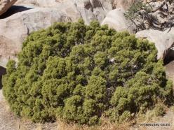 Siauralapių jukų nacionalinis parkas. Mohavių dykuma. Kaliforninis kadagys(Juniperus californica) (3)