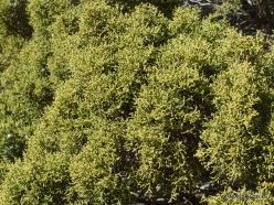 Siauralapių jukų nacionalinis parkas. Mohavių dykuma. Kaliforninis kadagys(Juniperus californica) (4)