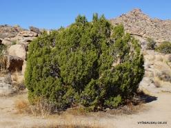 Siauralapių jukų nacionalinis parkas. Mohavių dykuma. Kaliforninis kadagys(Juniperus californica) (5)
