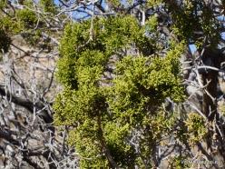 Siauralapių jukų nacionalinis parkas. Mohavių dykuma. Kaliforninis kadagys(Juniperus californica) (6)