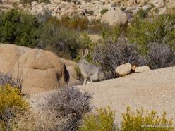 Siauralapių jukų nacionalinis parkas. Mohavių dykuma. Kaliforninis kiškis (Lepus californicus)