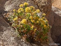 Siauralapių jukų nacionalinis parkas. Mohavių dykuma. Laukinės gėlės (3)