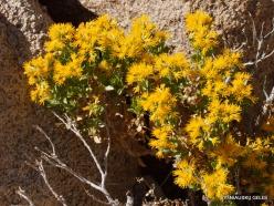 Siauralapių jukų nacionalinis parkas. Mohavių dykuma. Laukinės gėlės