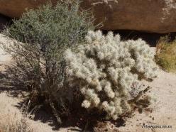 Siauralapių jukų nacionalinis parkas. Mohavių dykuma. Lazduvis (Cylindropuntia echinocarpa) (10)