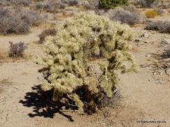 Siauralapių jukų nacionalinis parkas. Mohavių dykuma. Lazduvis (Cylindropuntia echinocarpa) (3)