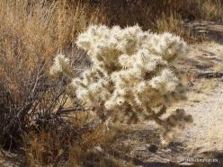 Siauralapių jukų nacionalinis parkas. Mohavių dykuma. Lazduvis (Cylindropuntia echinocarpa) (5)