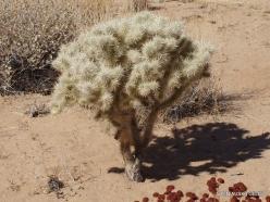 Siauralapių jukų nacionalinis parkas. Mohavių dykuma. Lazduvis (Cylindropuntia echinocarpa) (6)