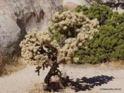 Siauralapių jukų nacionalinis parkas. Mohavių dykuma. Lazduvis (Cylindropuntia echinocarpa) (7)
